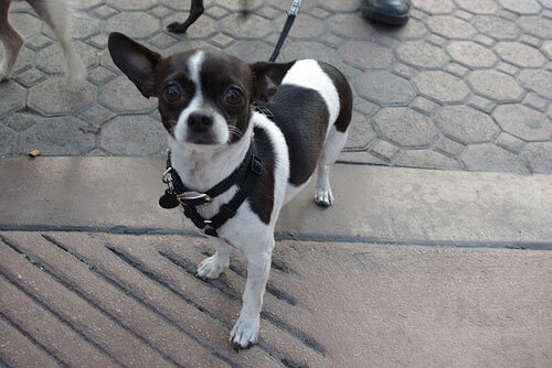 Black And Tan Deer Head Chihuahua