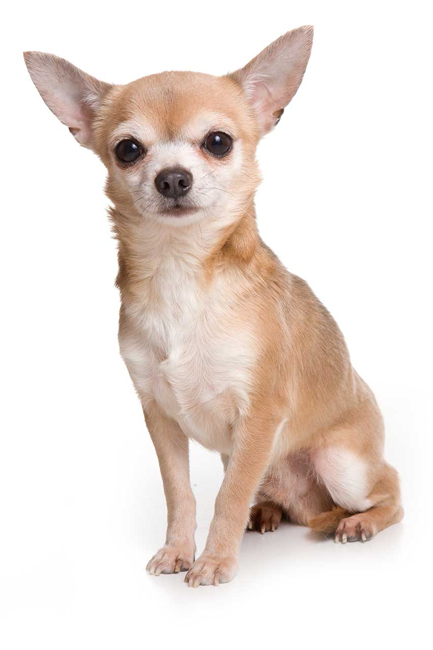 Dog Food For Chihuahua Puppies