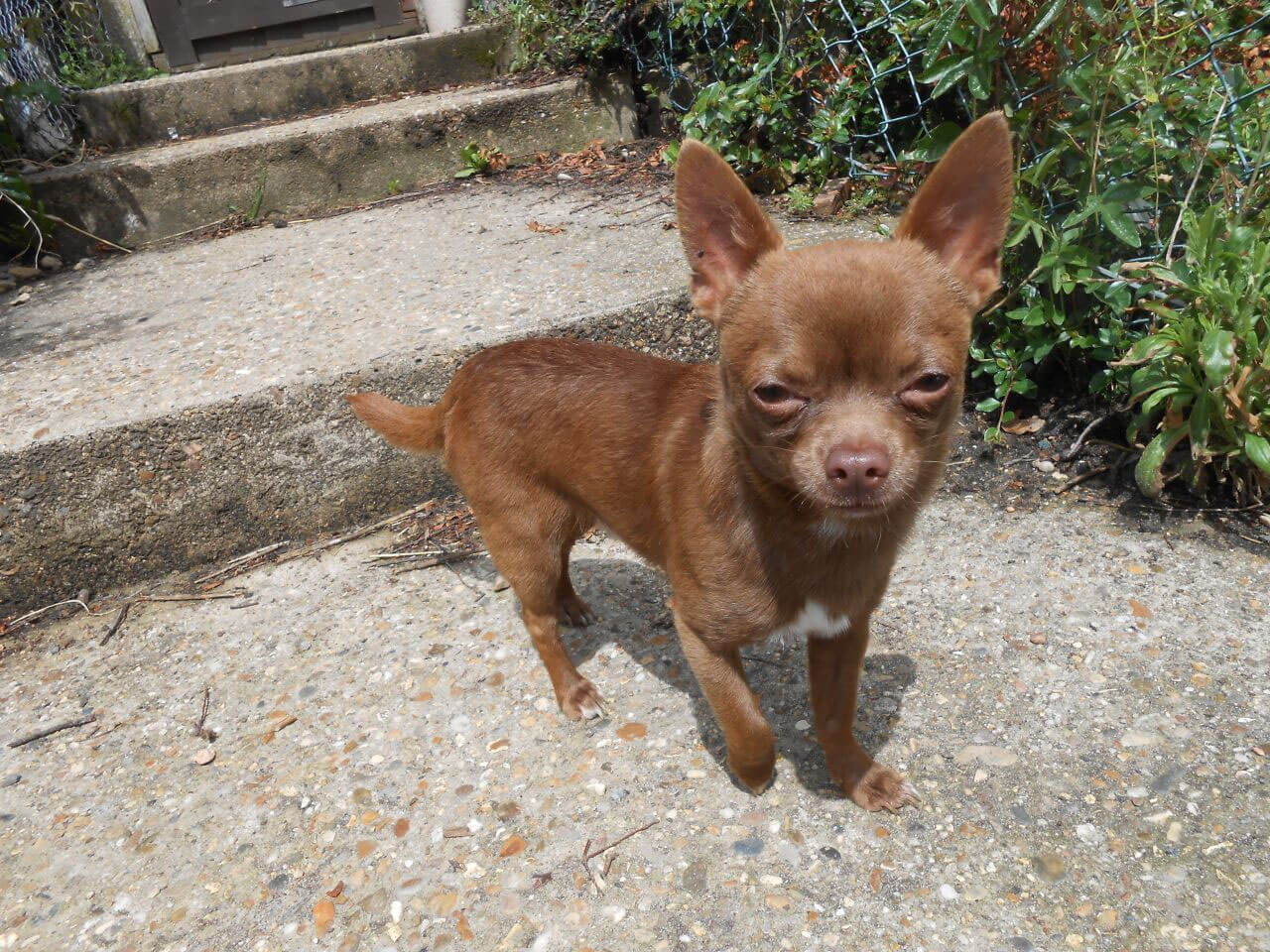 Chihuahua Chocolate Pictures to pin on Pinterest Black And White Short Hair Chihuahua