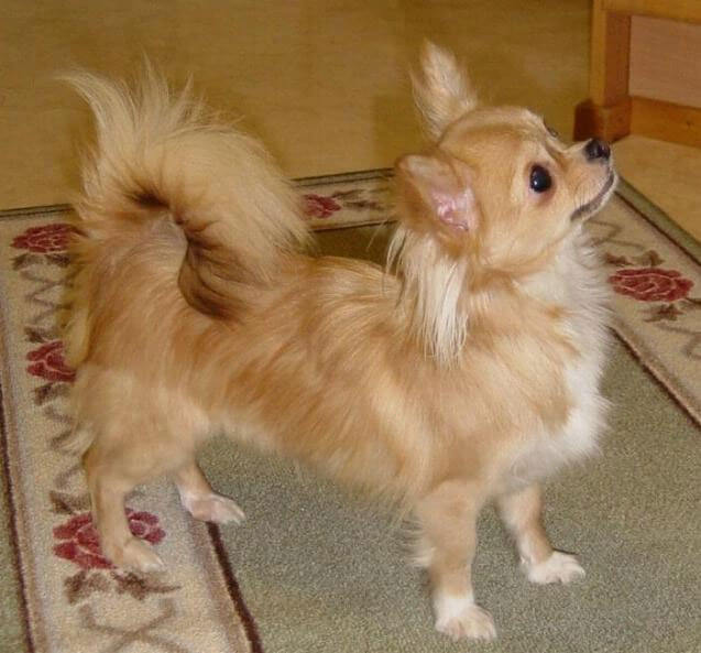 Chihuahua Dog Breed » Information, Pictures, & More
