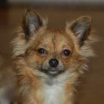 Long Haired Chihuahua, Chocolate Brindled Fawn Coloring