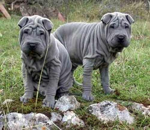 chinese shar pei breed information pictures more. Black Bedroom Furniture Sets. Home Design Ideas