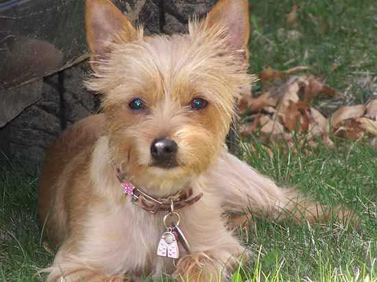 chorkie dog breed 187 chihuahua yorkshire terrier mix