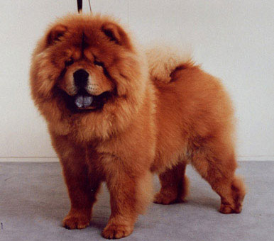 Chow Chow Dog Breed » Information, Pictures, & More