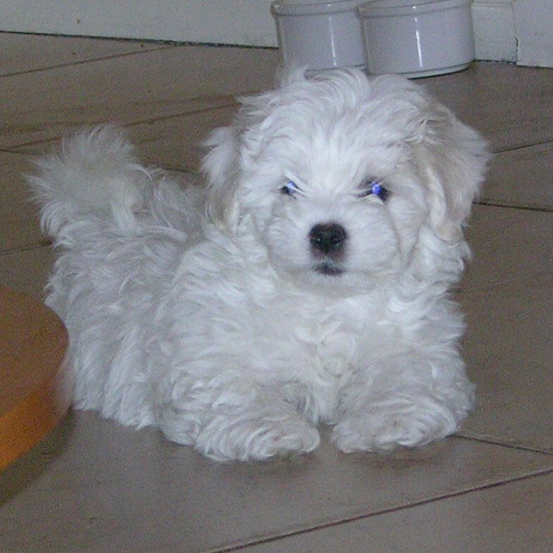 Coton De Tulear Dog Breed » Information, Pictures, & More