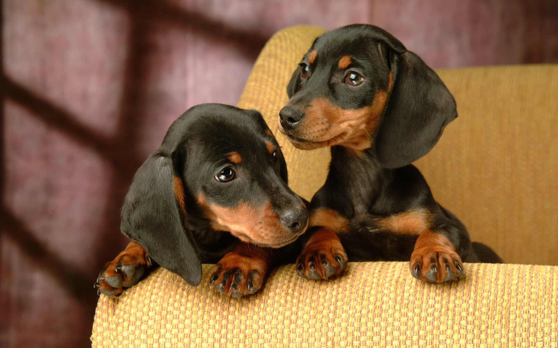 dachshund dog breed information pictures more. Black Bedroom Furniture Sets. Home Design Ideas