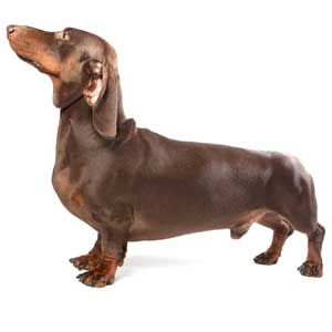 Dachshund Dog Breed 187 Information Pictures Amp More