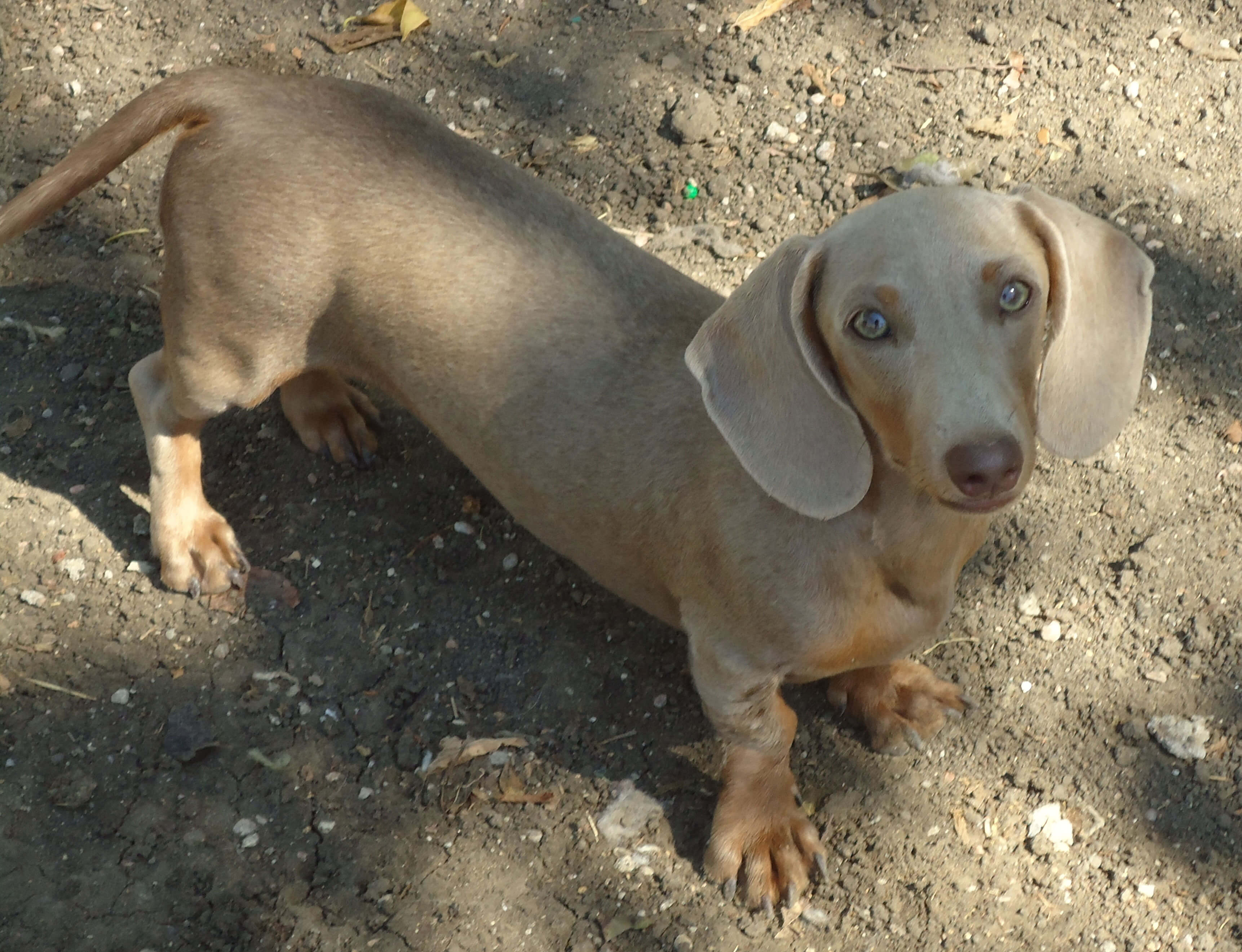 Dachshund Dog Breed » Information, Pictures, & More