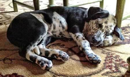 Dalmador Dog Breed 187 Odd Facts Amp In Depth Breed Info