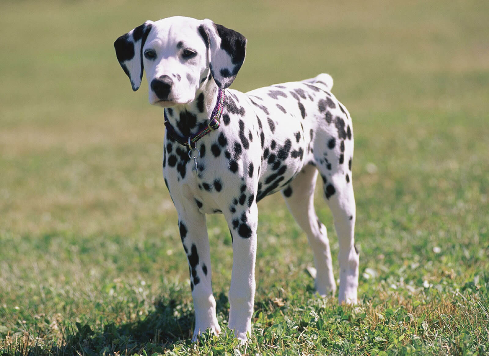 Dalmatian Dog Breed 187 Information Pictures Amp More
