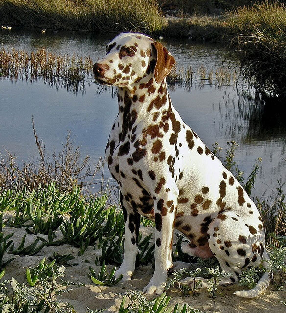 Chocolate Brown Dog With White Spots
