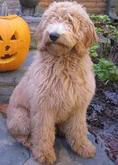Double Doodle Dog Breed 187 Information Pictures Amp More
