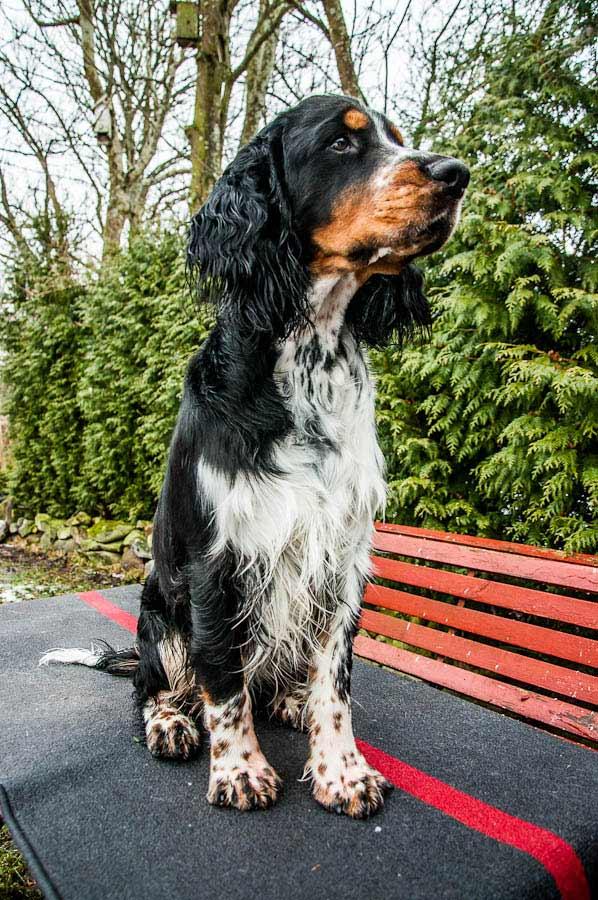 English Springer Spaniel Dog Breed 187 Info Pics Amp More