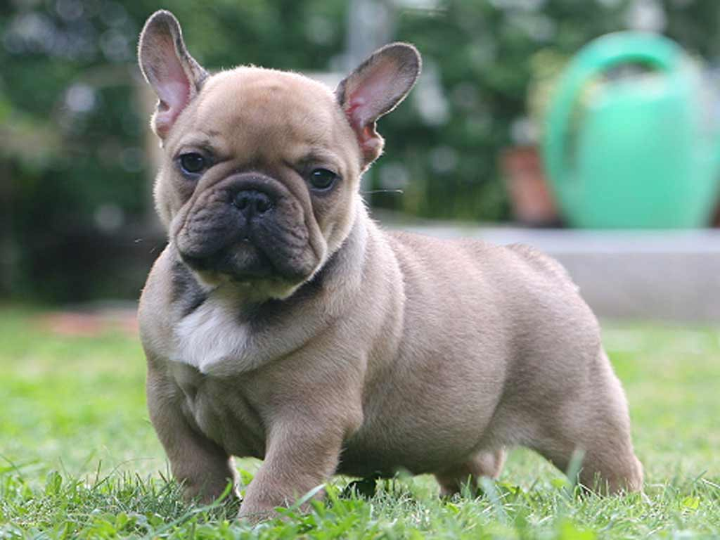 Ethical Frenchie | French Bulldog Puppies