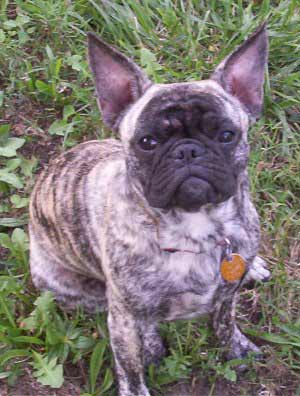 Frenchie Pug Dog Breed 187 Information Pictures Amp More