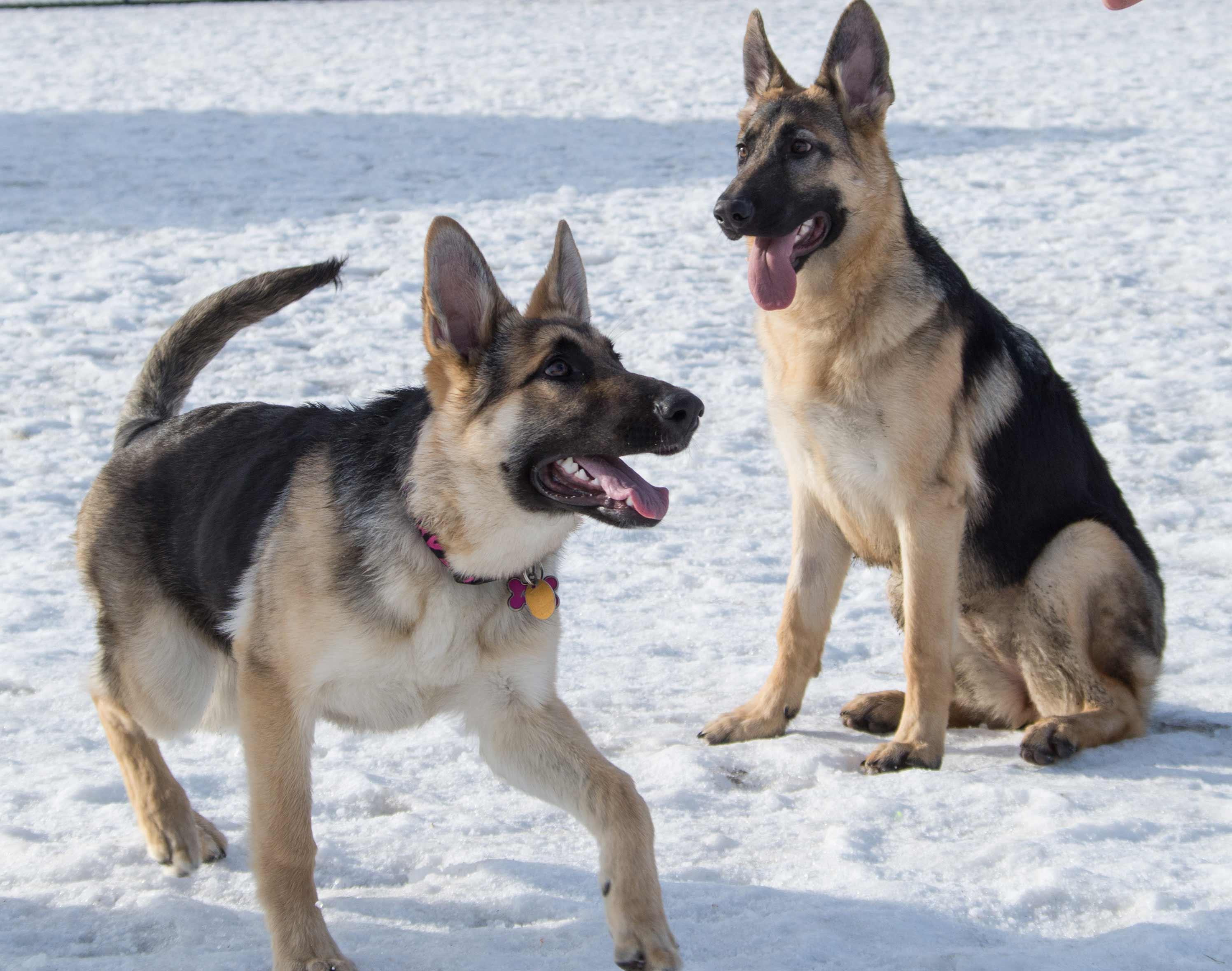 black and silver german shepherd dog