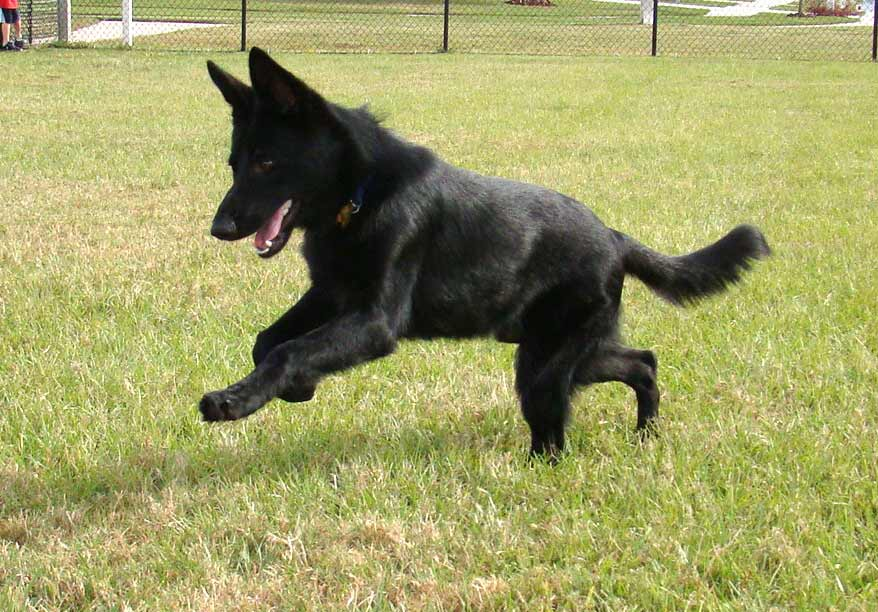 german shepherd dog breed 187 information pictures amp more