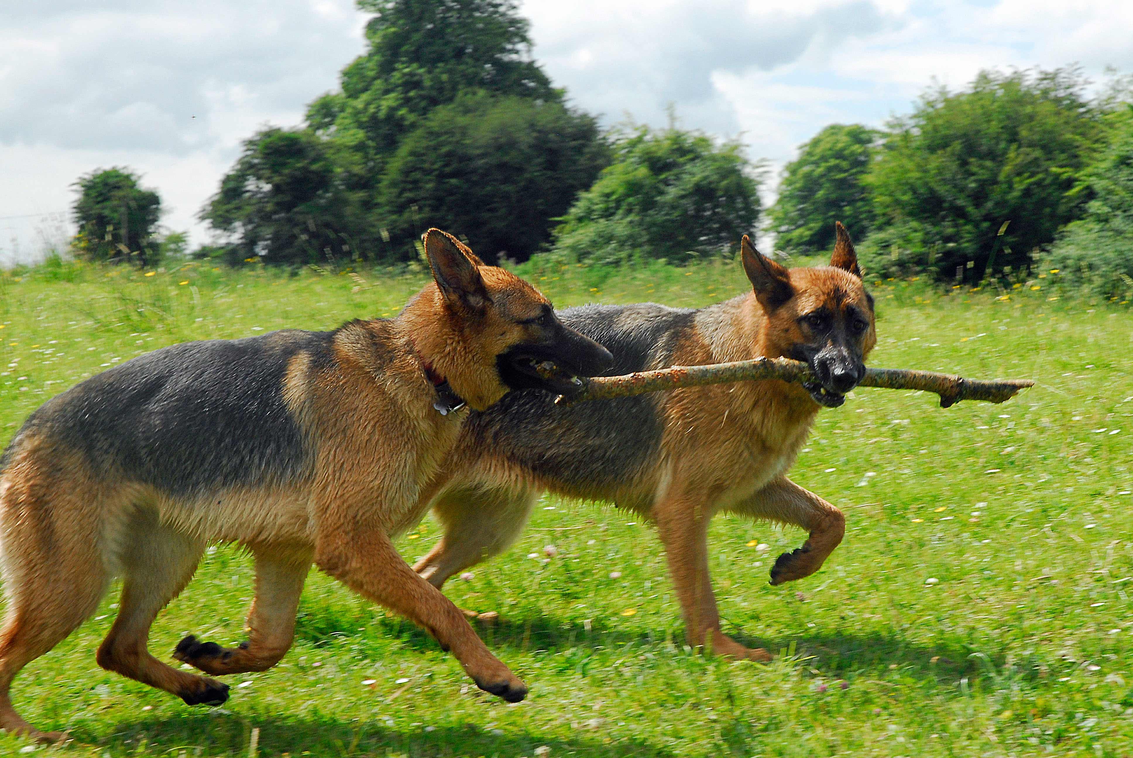 German Shepherd Blue And Tan German Shepherd Dog Br...