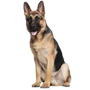 German Shepherd Dog Breed  Information Pictures  More