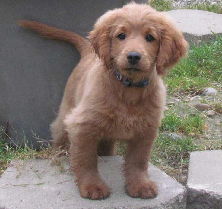 Golden Cocker Retriever Dog Breed » Info, Pics, & More