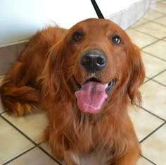 Golden Irish Dog Breed 187 Information Pictures Amp More