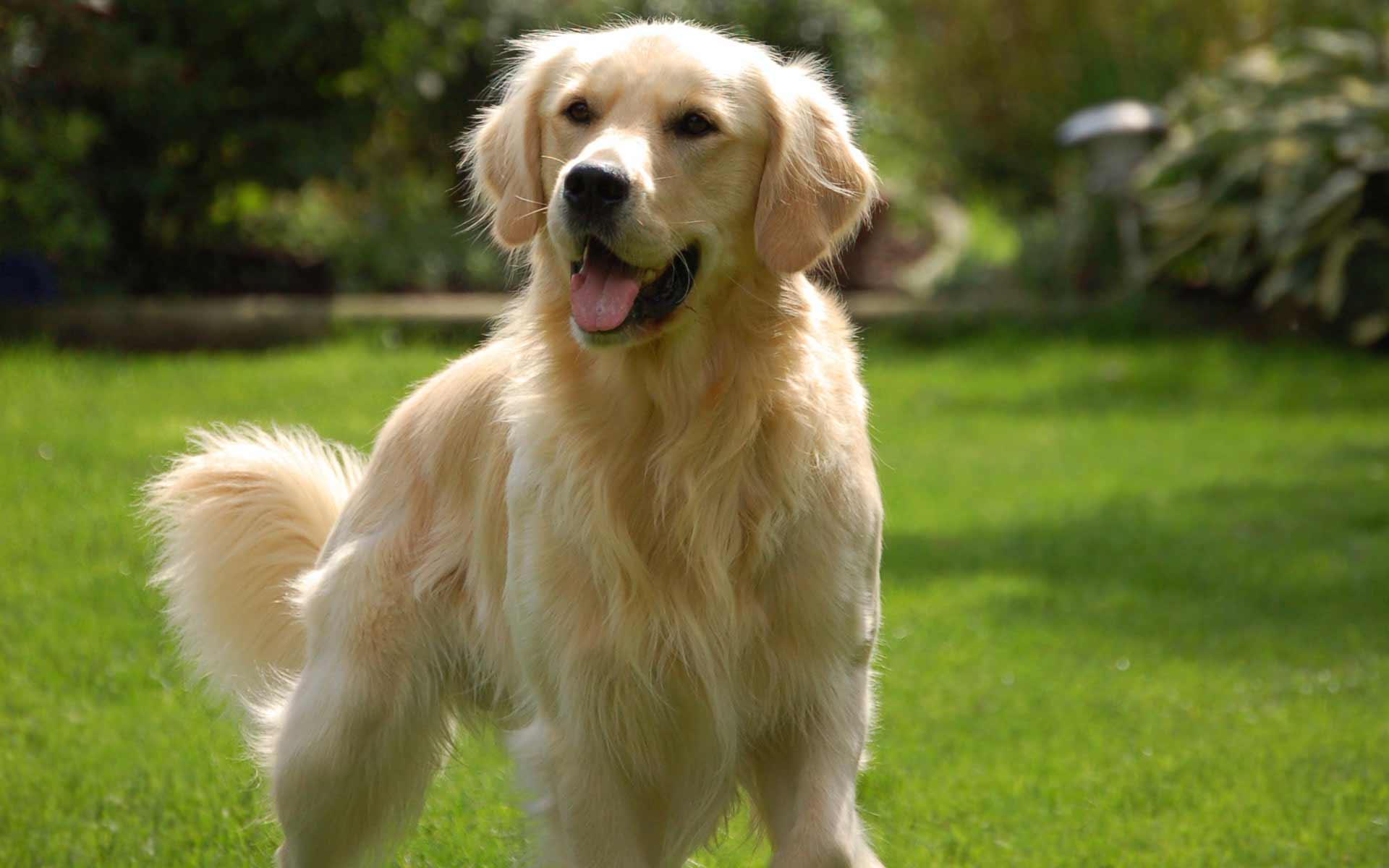 Golden retriever dog breed information pictures more for Golden retriever puppies information