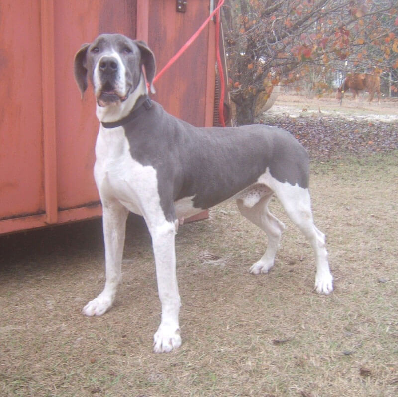 Great Dane Dog Breed » Information, Pictures, & More Blue Mantle Great Dane