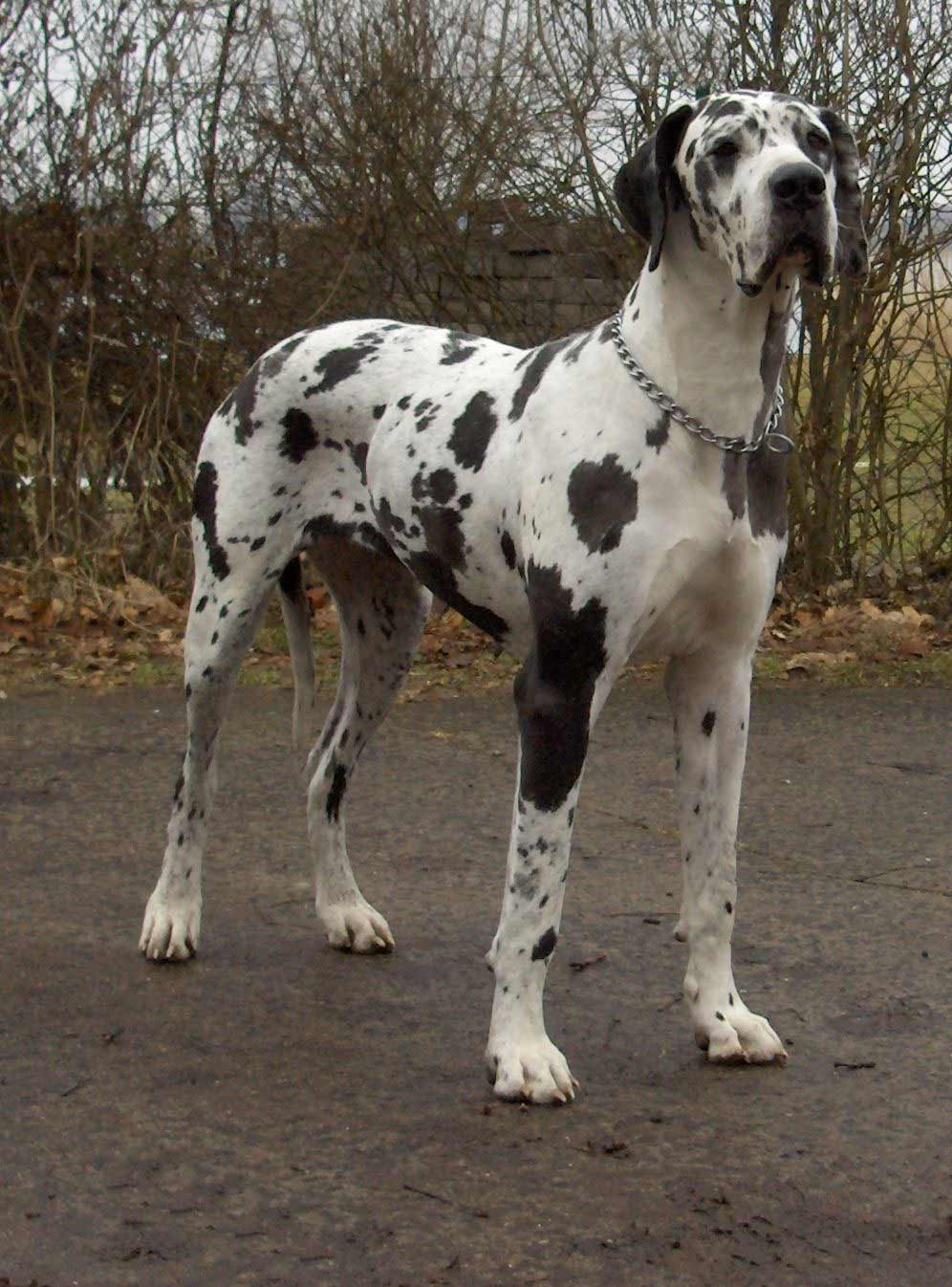 Great Dane Dog Breed » Information, Pictures, & More