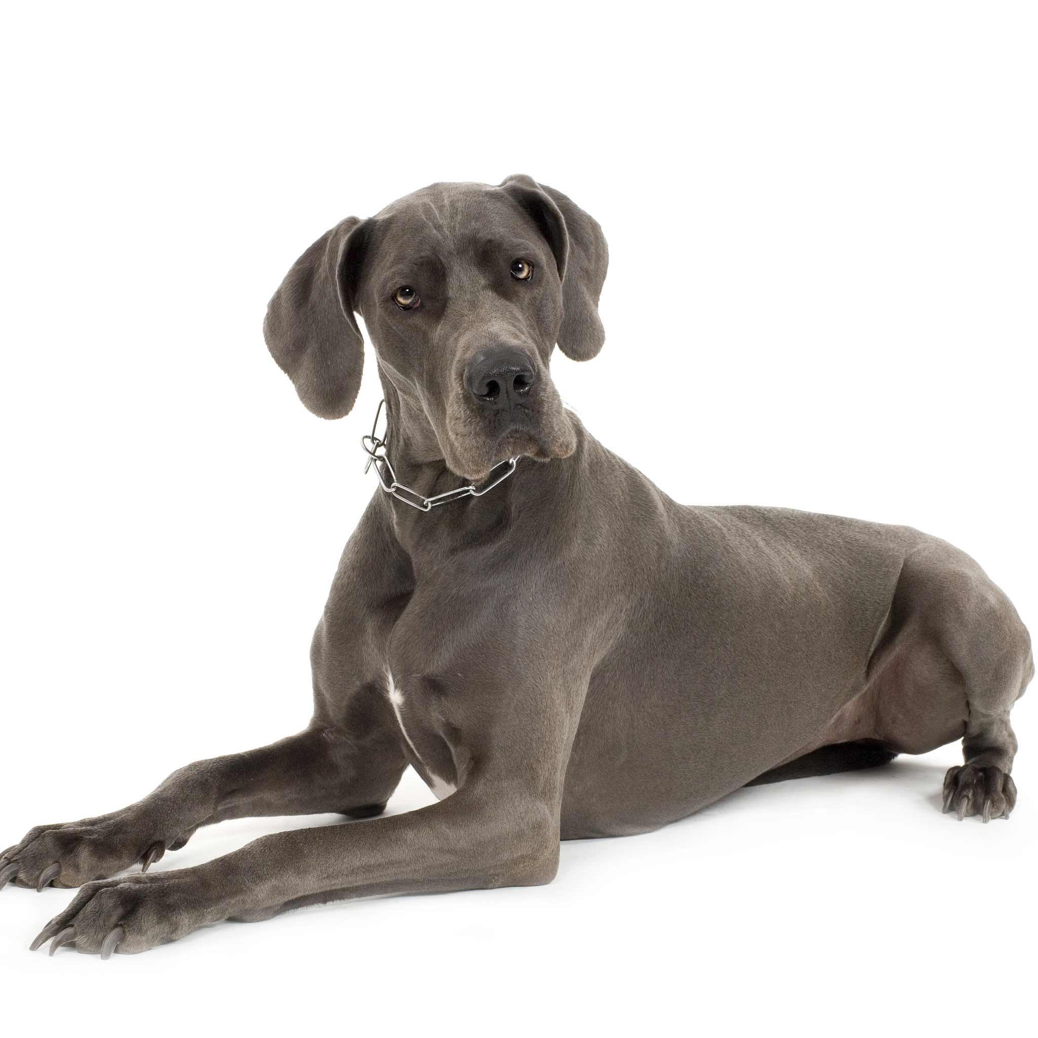 Great Dane Dog Breed 187 Information Pictures Amp More
