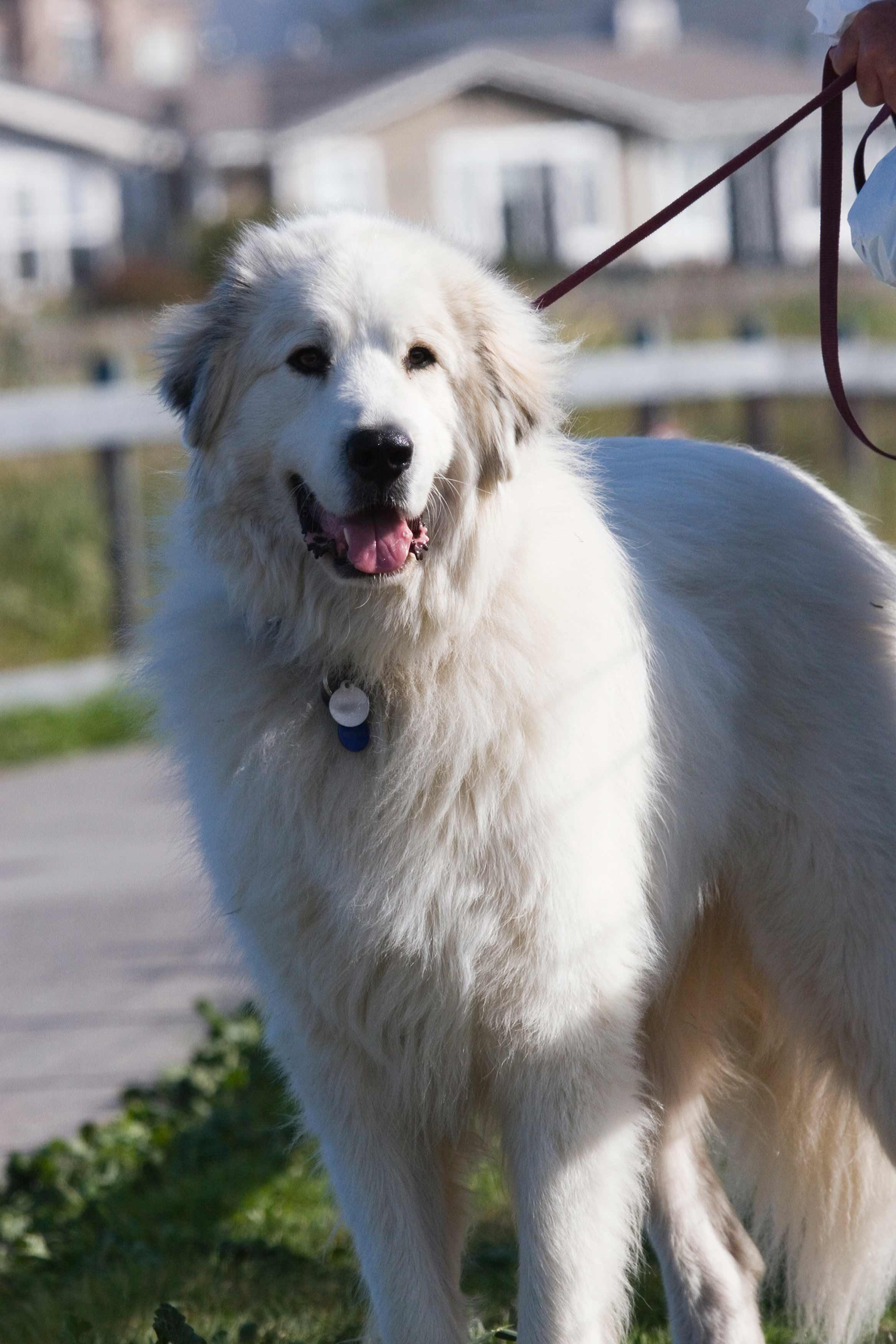 Great Pyrenees Dog Breed 187 Information Pictures Amp More