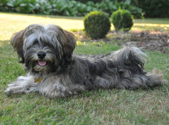 how to keep havanese hair from matting
