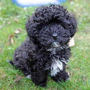 Havapoo / Poovanese Dog Breed » Poodle Havanese Mix