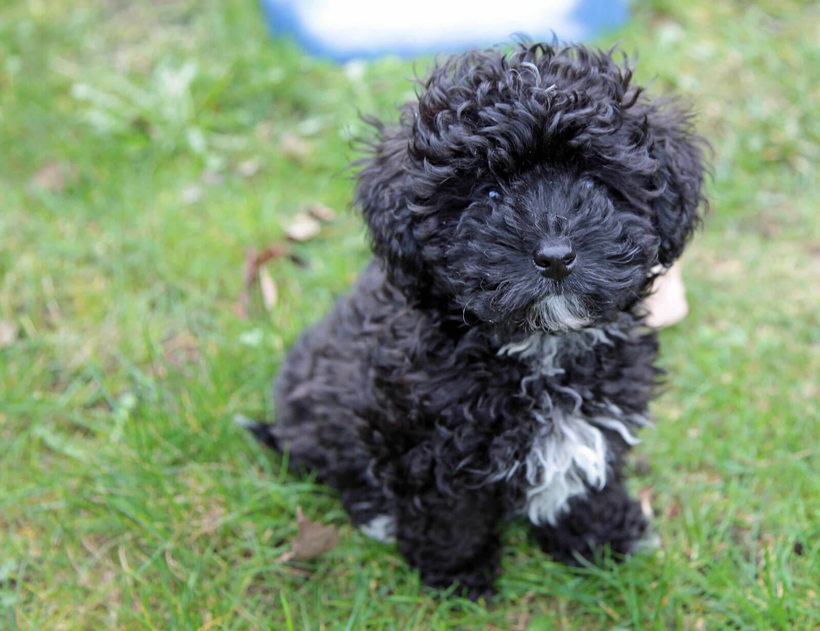 Havapoo Poovanese Dog Breed 187 Poodle Havanese Mix