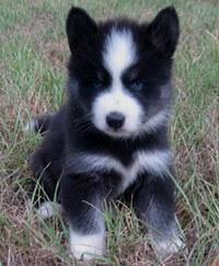 Huskimo Dog Breed