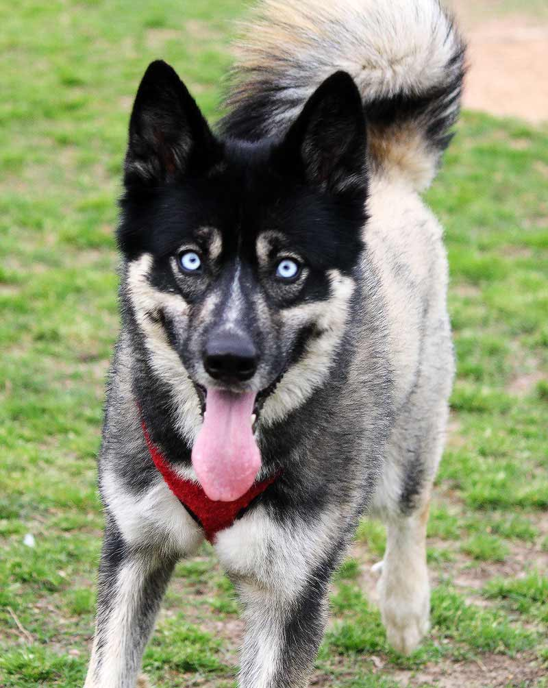 Huskita Dog Breed 187 Pictures Facts Amp In Depth Breed Info
