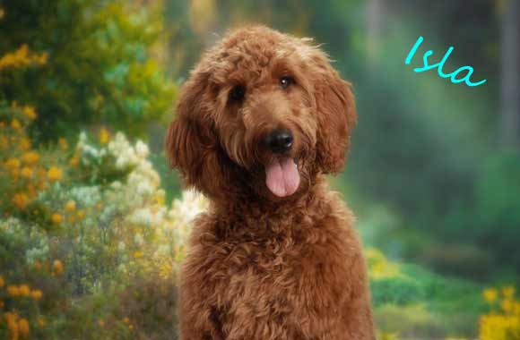 Irish Doodle Dog Breed 187 Information Pictures Amp More