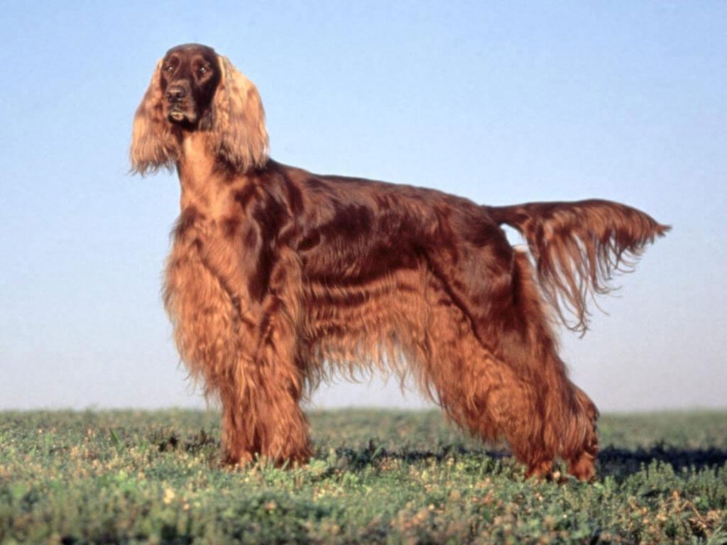 Mahogany Dog Breed