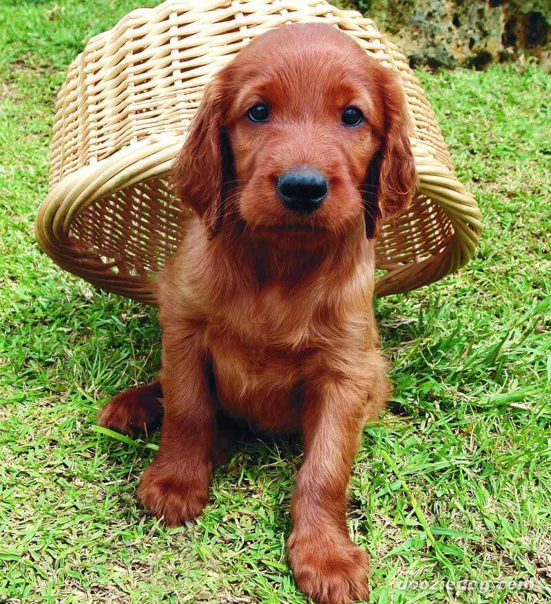 irish setter dog breed information pictures more. Black Bedroom Furniture Sets. Home Design Ideas