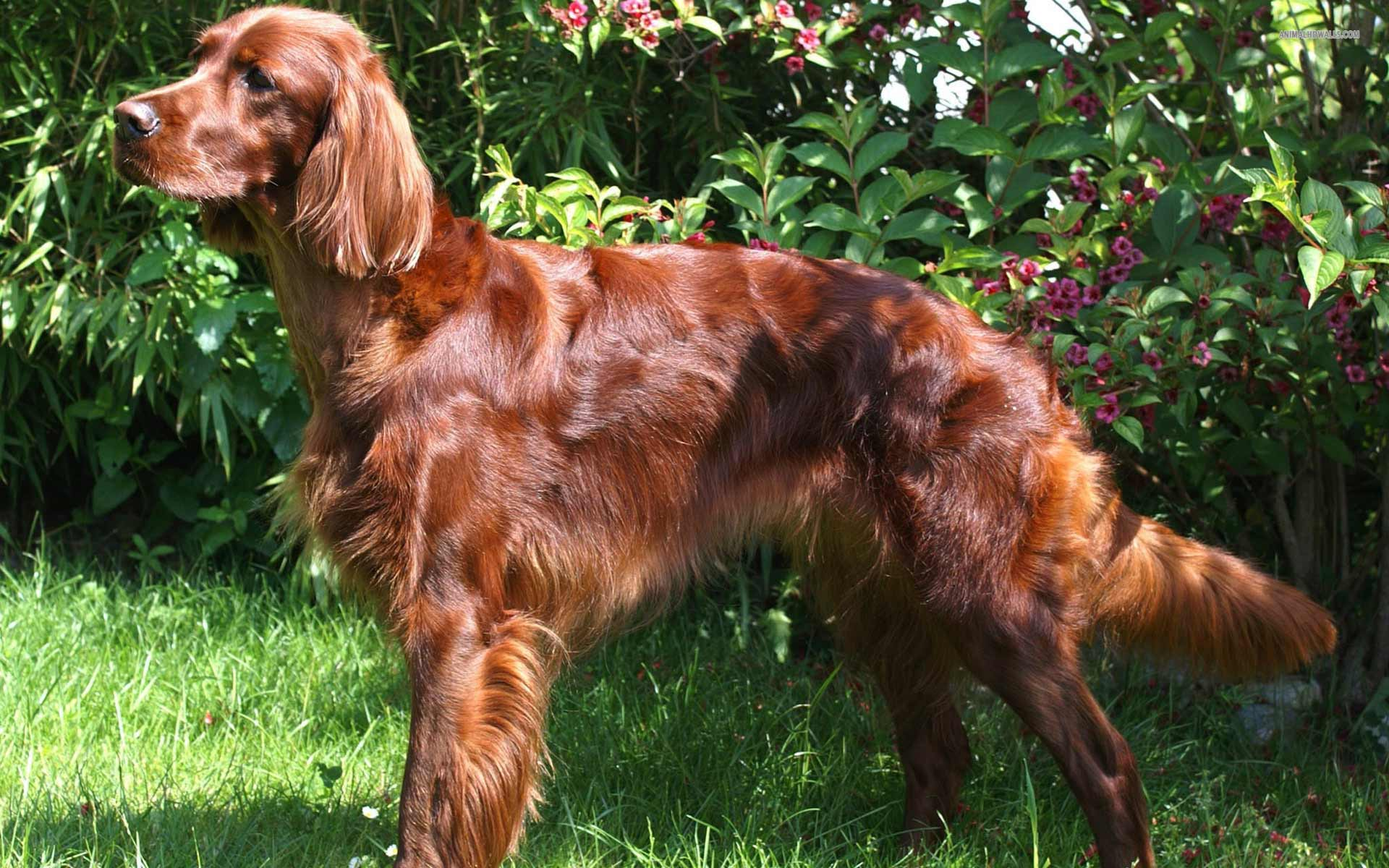 ... of the irish setter dog breed add a photo add a picture of your dog