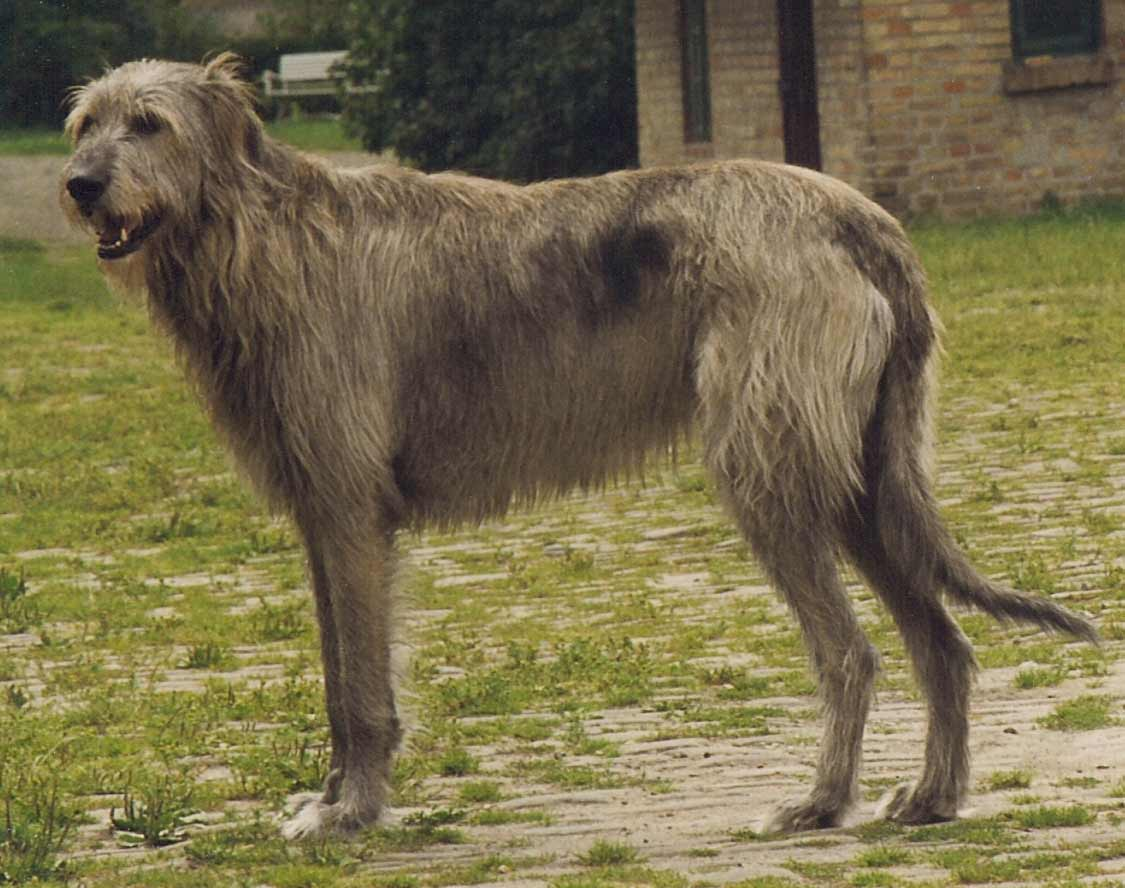 irish wolfhound dog breed information pictures more. Black Bedroom Furniture Sets. Home Design Ideas