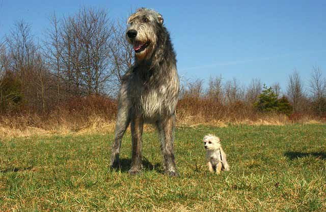 Irish Wolfhound Do They Shed Irish Wolfhound Dog Br...