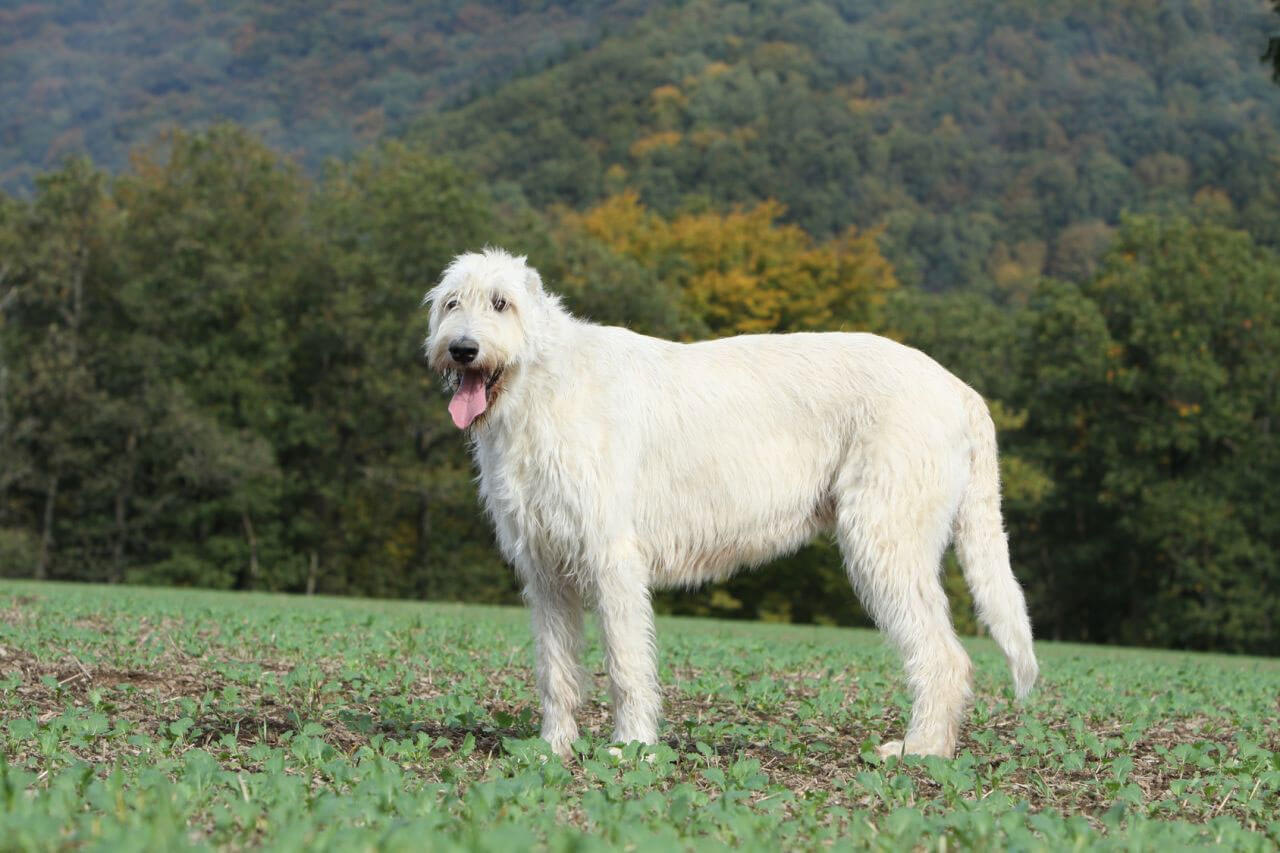 how tall is irish wolfhound