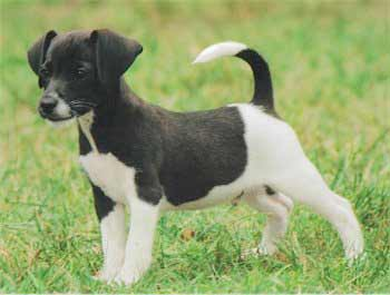 Jack A Bee Dog Breed 187 Information Pictures Amp More