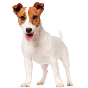 jack russell terrier mixed breeds - photo #24