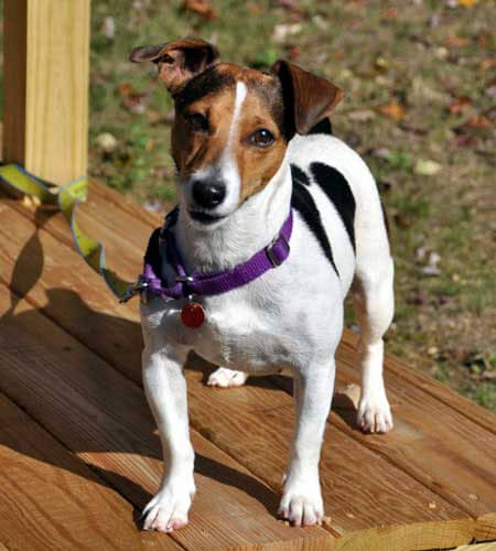 Jack Russell Terrier Dog Breed 187 Information Pictures Amp More