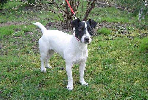 jack russell terrier black and white - photo #2
