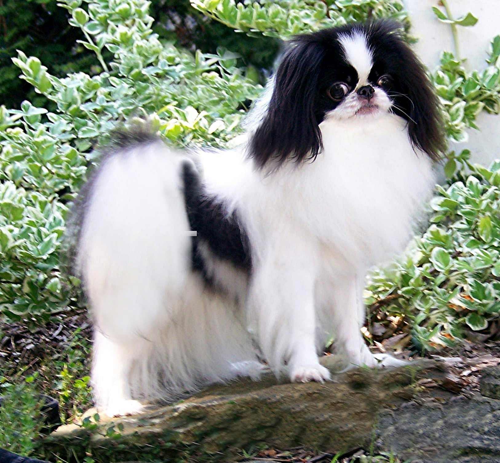Http Dogtime Com Dog Breeds Japanese Chin