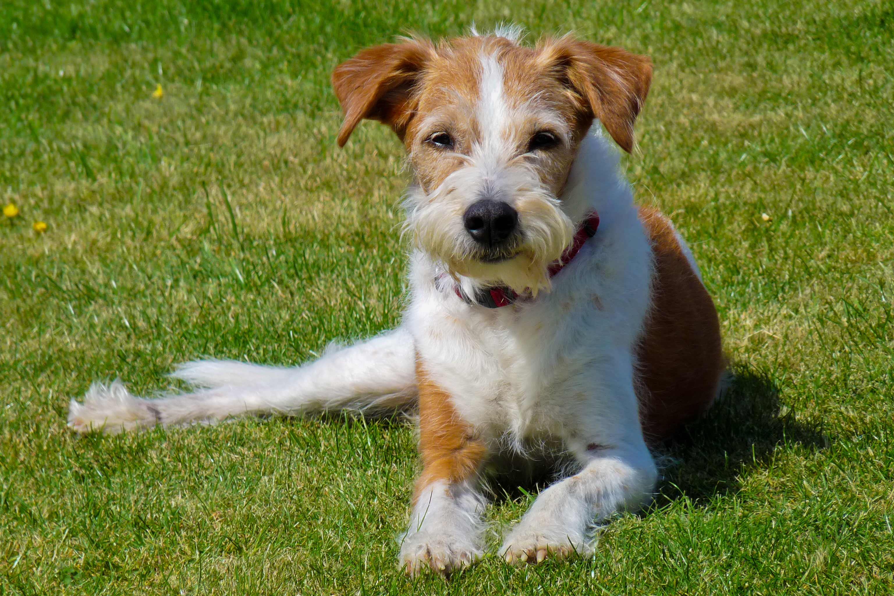 Kromfohrlander Dog Breed » Information, Pictures, & More