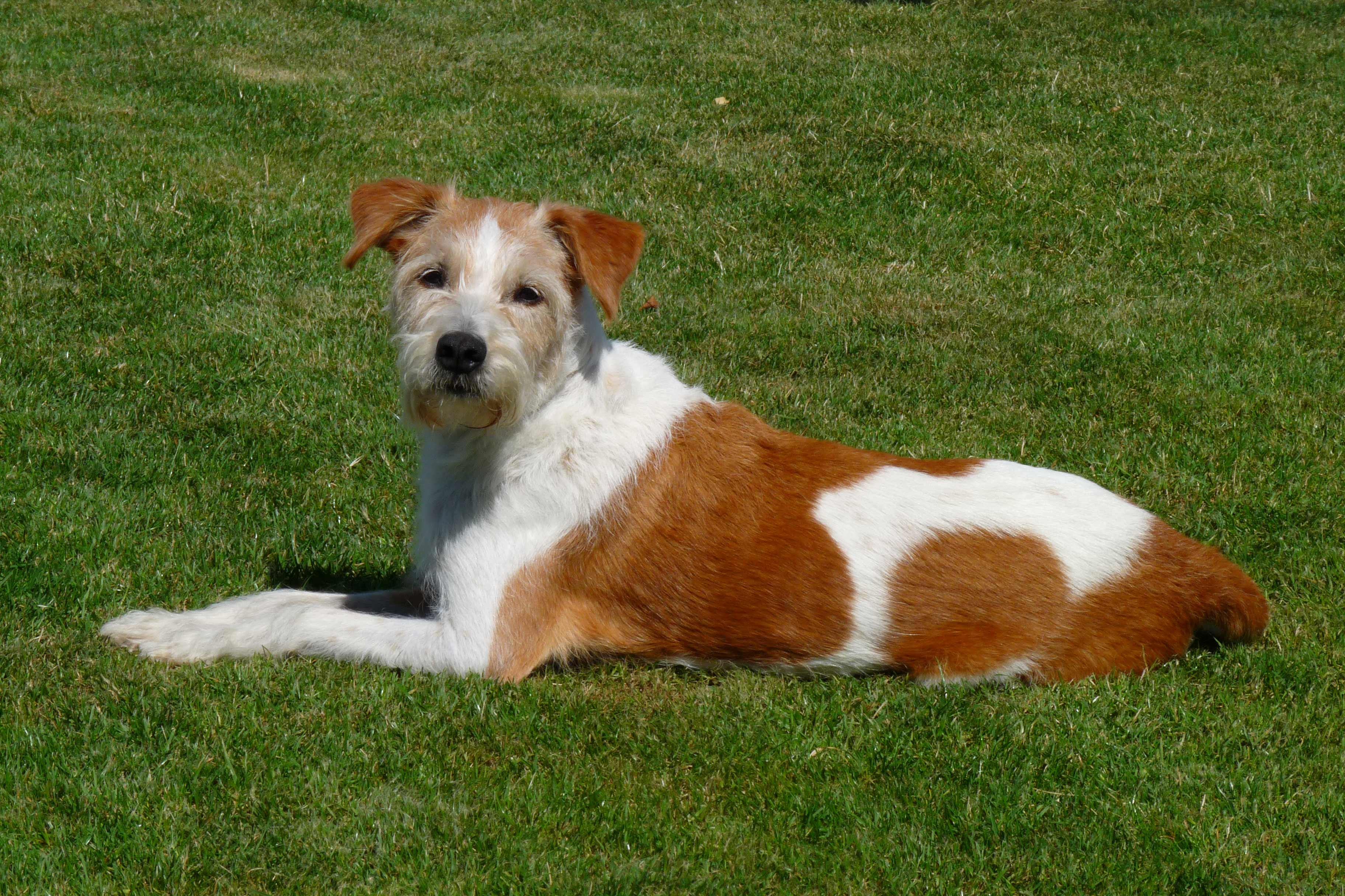 Kromfohrlander Dog Breed 187 Information Pictures Amp More