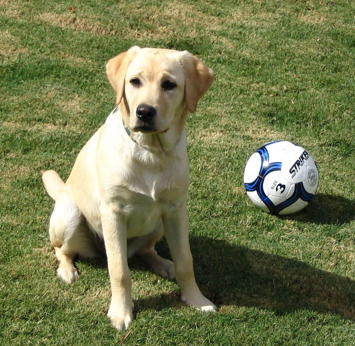 Labrador retriever dog breed information pictures more yellow labrador retriever nvjuhfo Images